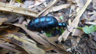 Springtime means oil beetles