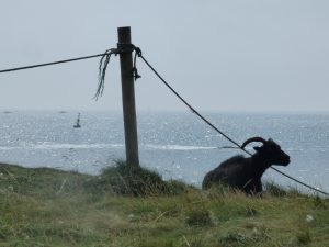 Tranquil view out to sea past an elderly Hebridean sheep