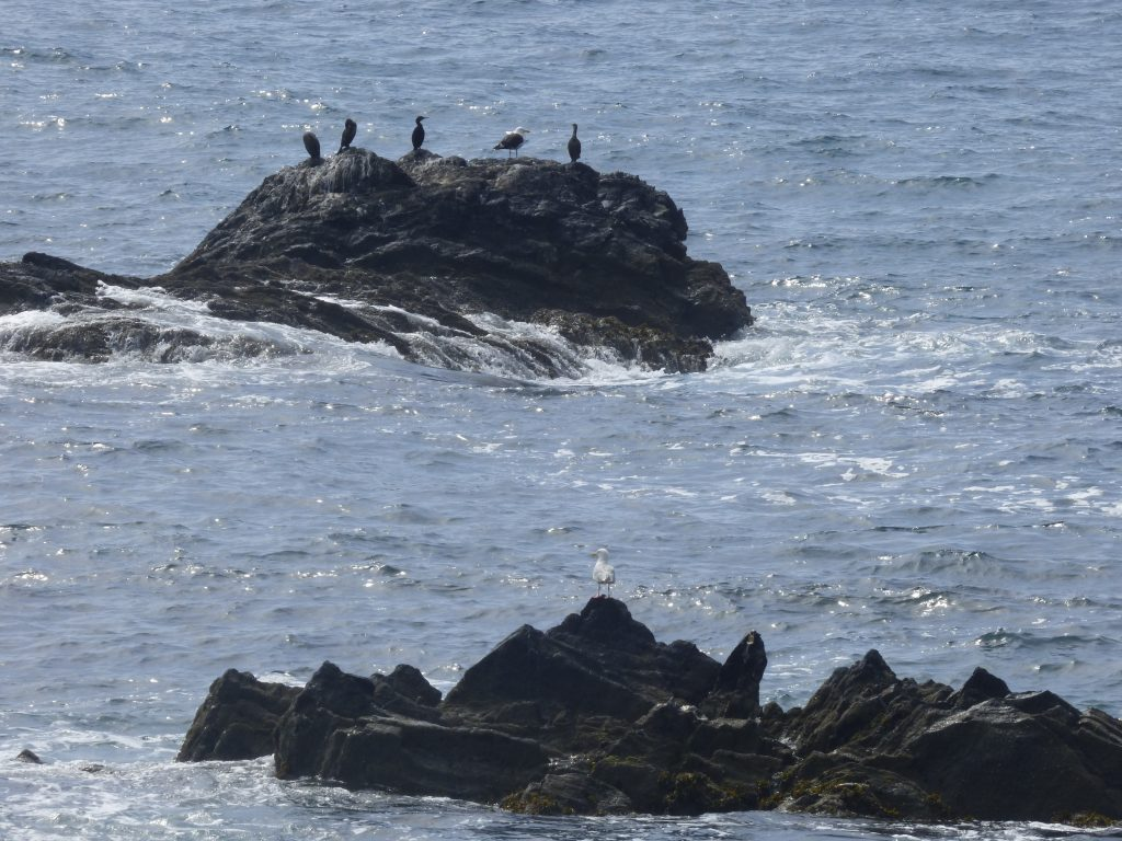 Shags and a great black-backed gull and (nearer) a herring gull looking out to sea