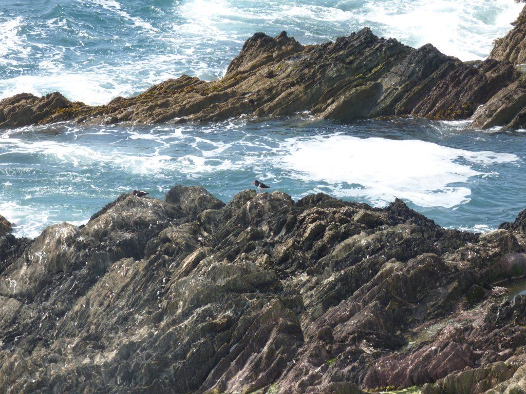 Oystercatchers on rocks