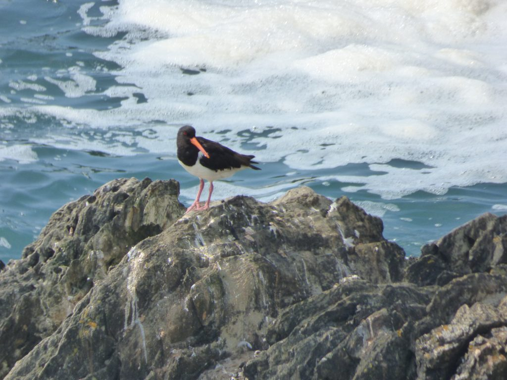 The red eye, orange beak and pink legs of the adult oystercatcher