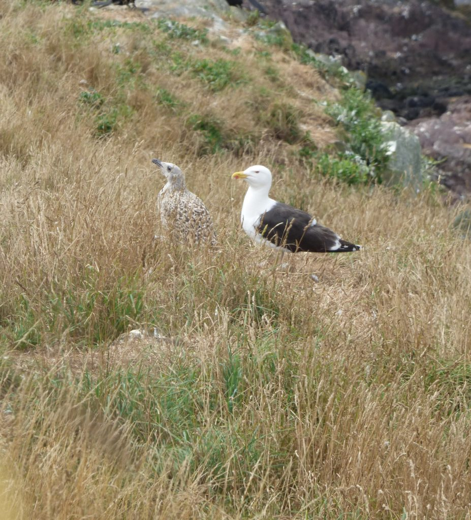Parent and juvenile great black-backed gulls
