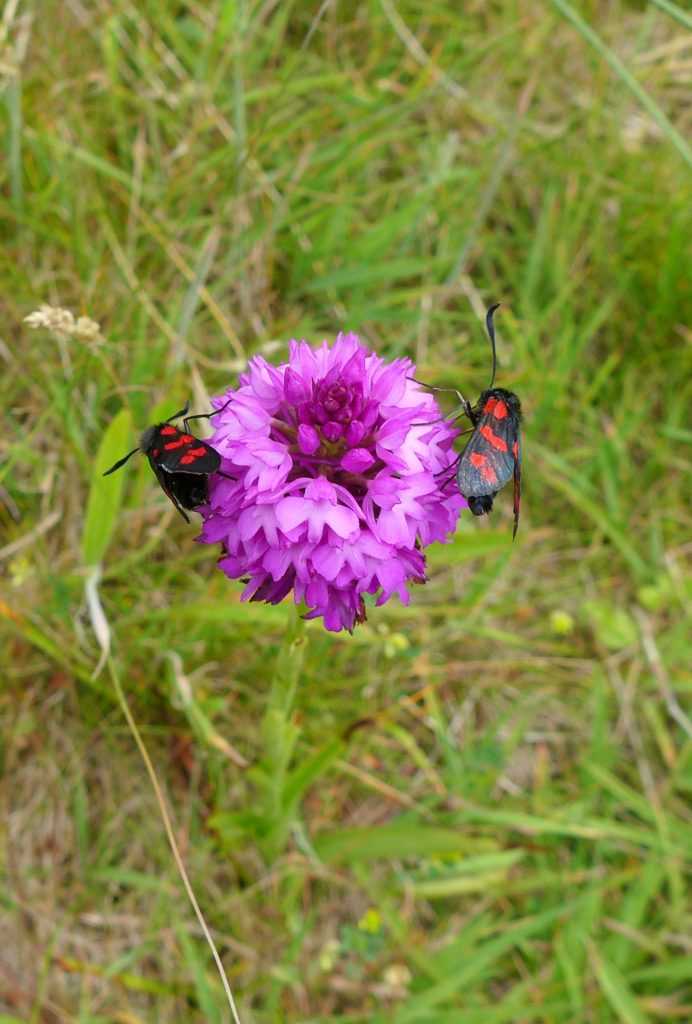 Burnet moths thrive in meadows, their caterpillars feeding on clovers and vetches and pupating on grass stems