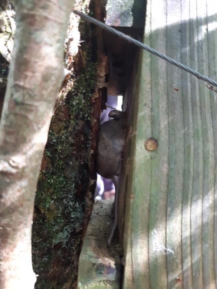 Caught on camera – a Wood Mouse using a dormouse box. Photo © Natasha Underwood