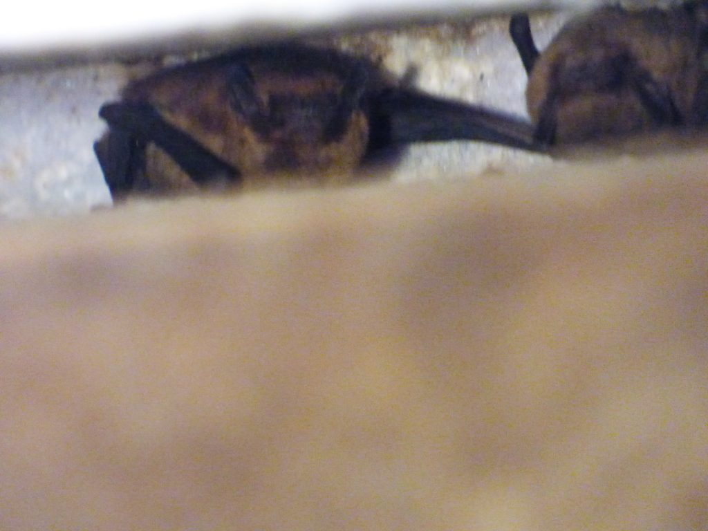 2 soprano pipistrelles in box
