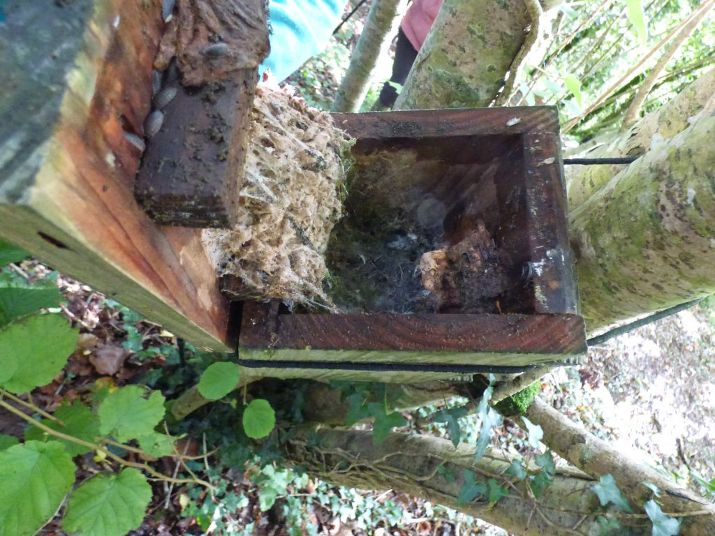 A sticky mess left by wax moth larvae, with a probable Wood Mouse nest underneath.