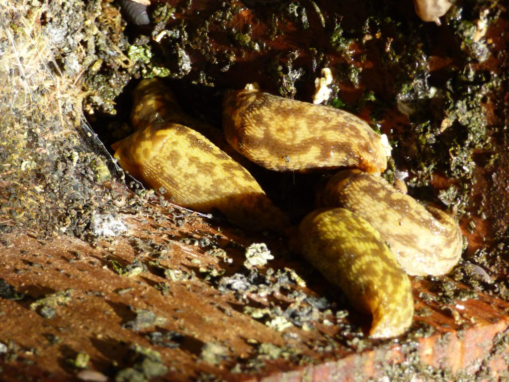 Cellar slugs Limacus sp. enjoying the shelter of a dormouse box