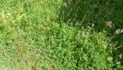Birdsfoot trefoil not yet flowering