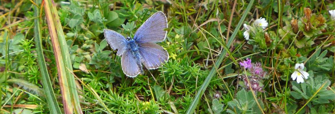 Blue butterfly on heathland