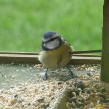 Blue tit as wildlife gardening blog example