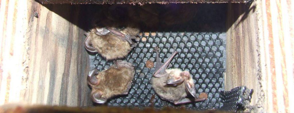 Brown long-eared bats in wooden box 2007