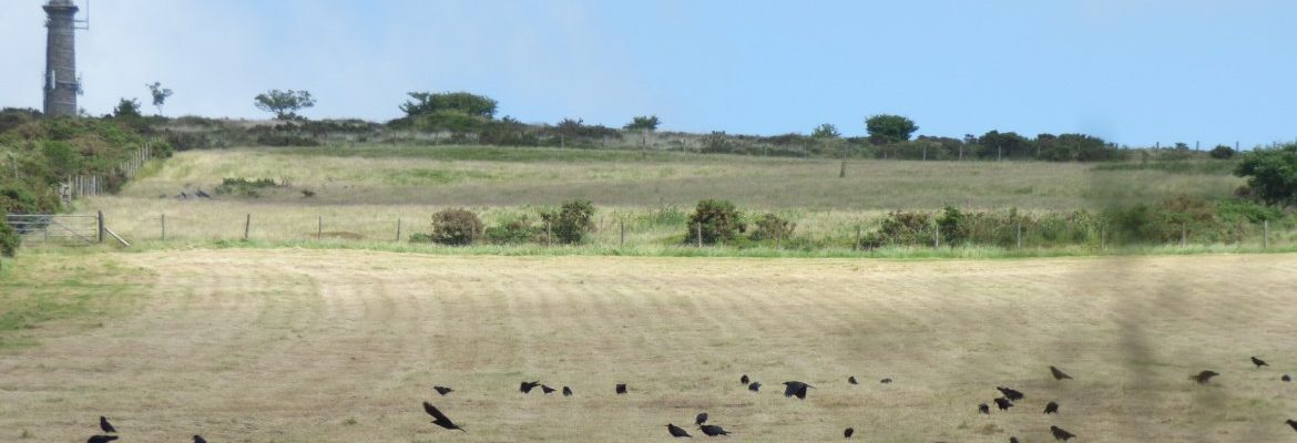 Corvids on Kit Hill with tower