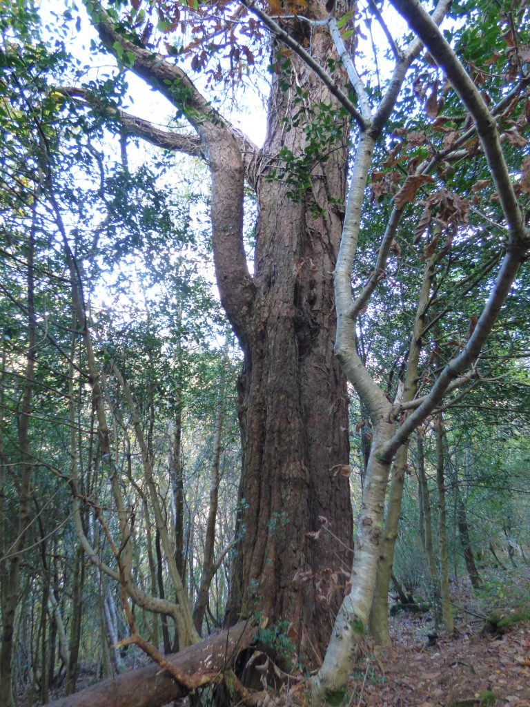 Old pine, Kilminorth