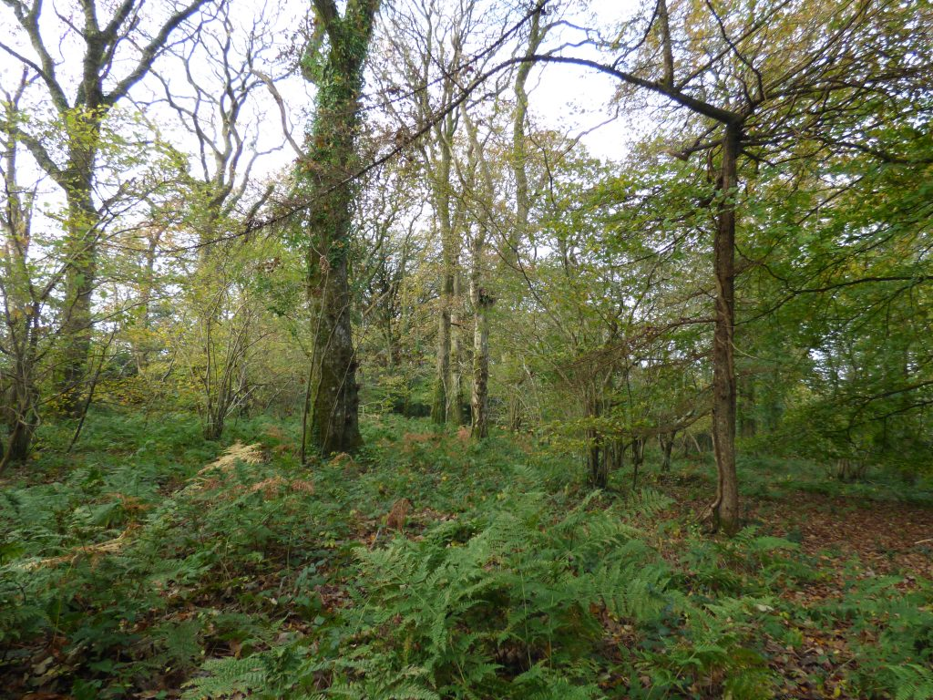 Old hazel coppice