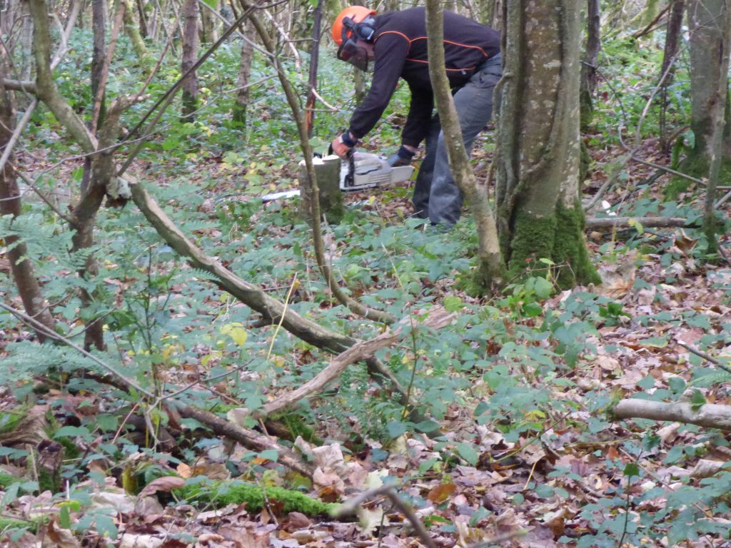 Finishing off coppice with chainsaw