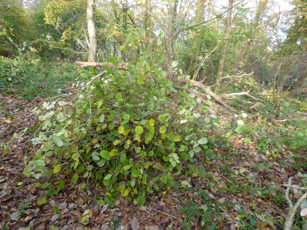 Protective hazel branches over stump