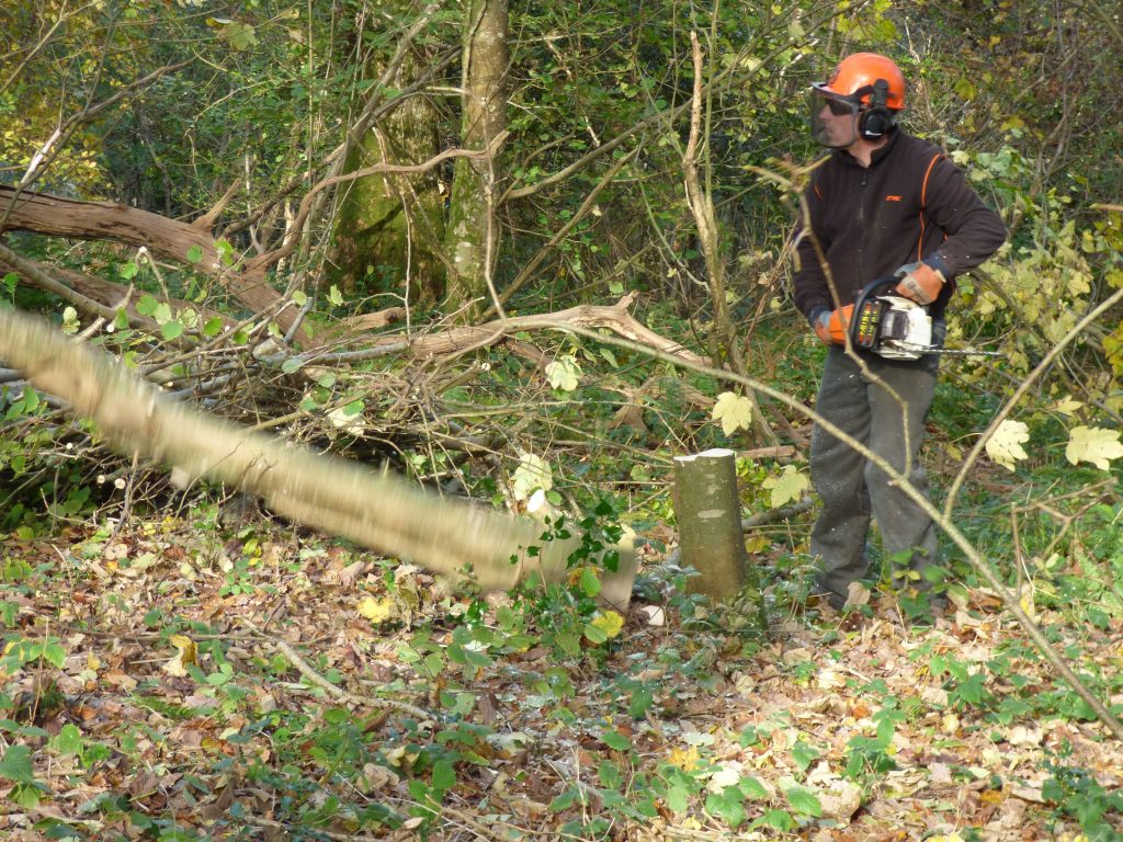 Chainsawing for coppicing