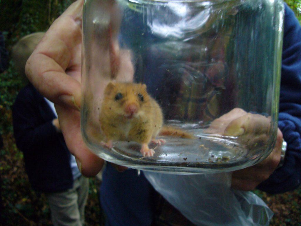 Dormouse in a jar