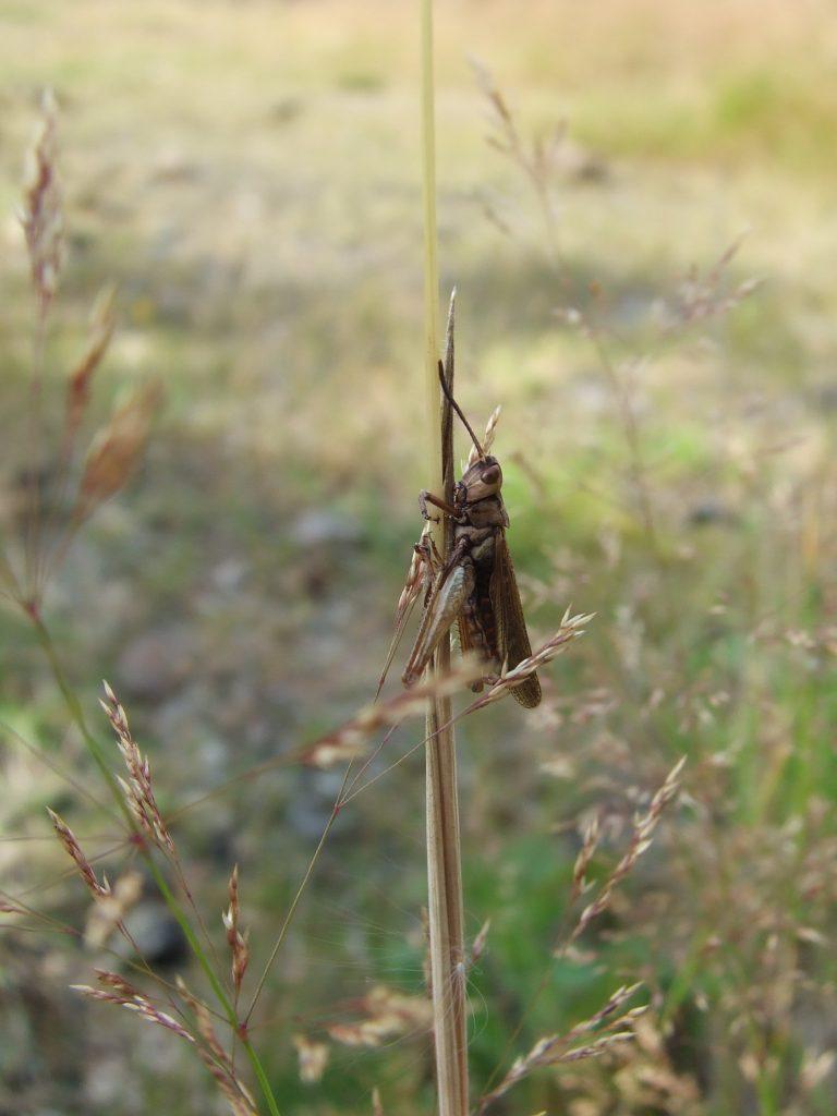 Grasshopper skin