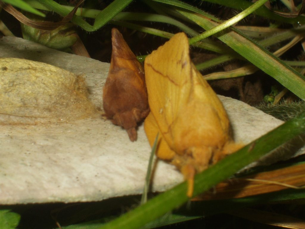 Male and female drinker moths