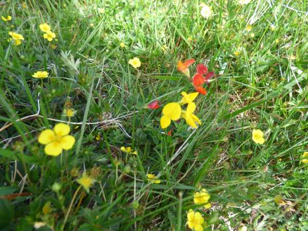 Tormentil (left and right) and birdsfoot trefoil (centre) are found in the meadows of south-east Cornwall