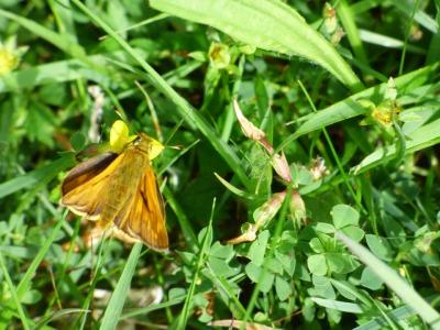 Skipper butterflies thrive in the long grass of flower-rich meadows