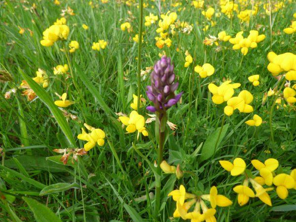 Orchid & trefoil