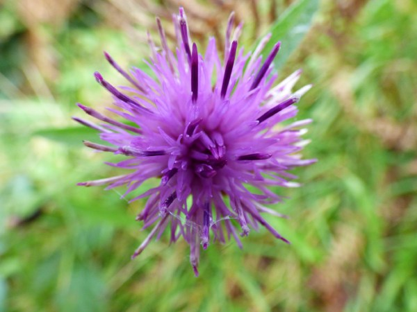 Thistle-shaped flowers like this attract bumblebees to meadows