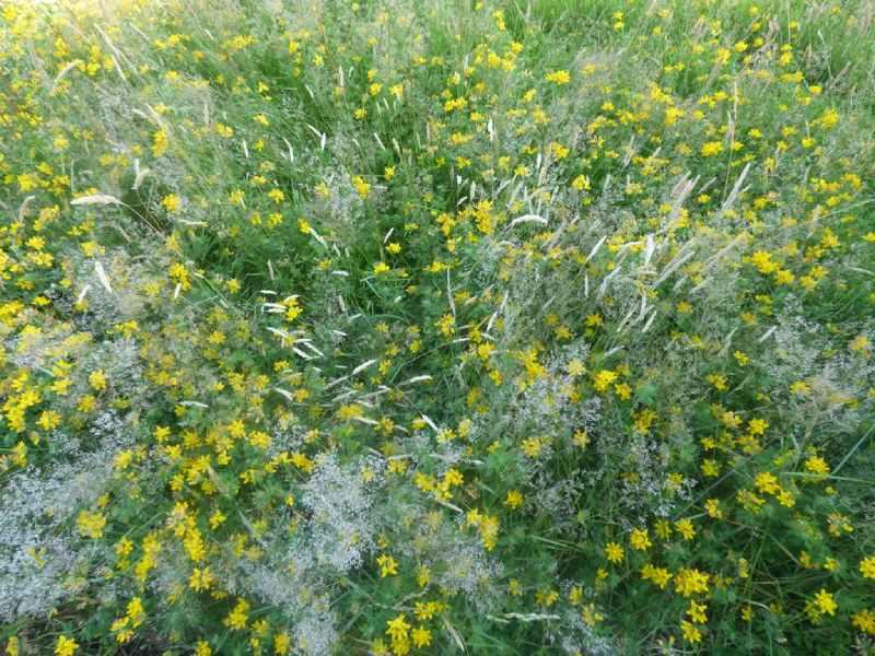 Front garden full of trefoils