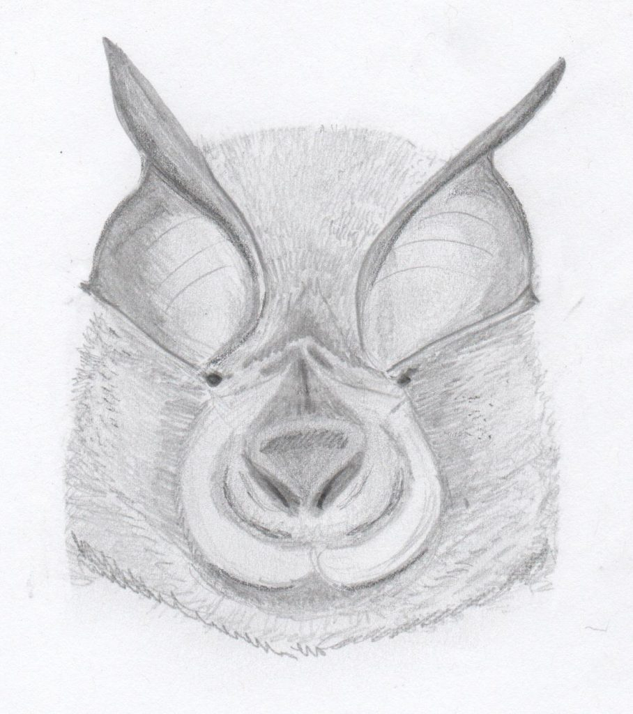 The face of a lesser horseshoe bat