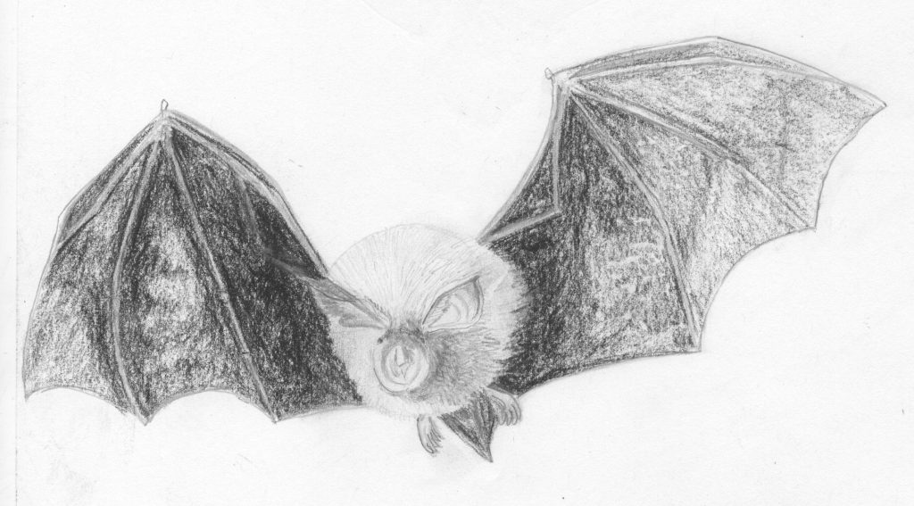 Drawing of a lesser horseshoe bat in flight