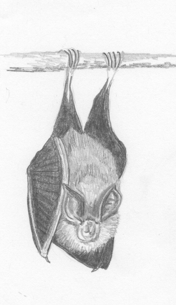 Lesser horseshoe bat hanging from a branch