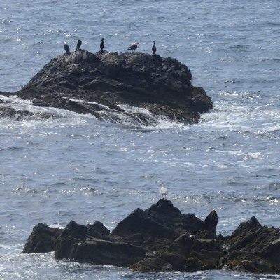 Seabirds on a rock seen from Looe Island