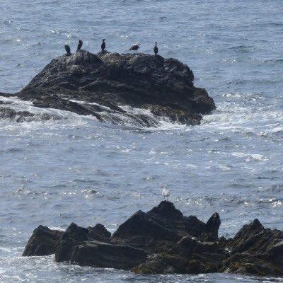 Seabirds on a rock seen from Looe Island