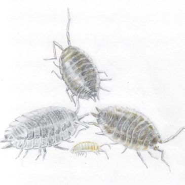 Domestic beasts: the woodlouse