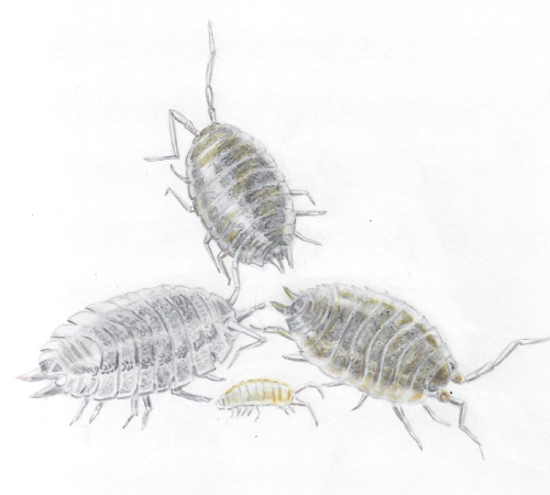 Drawing of three adult woodlice and a baby by Rowena Millar