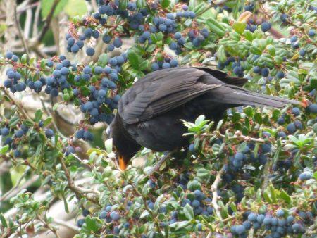 Blackbird & berries
