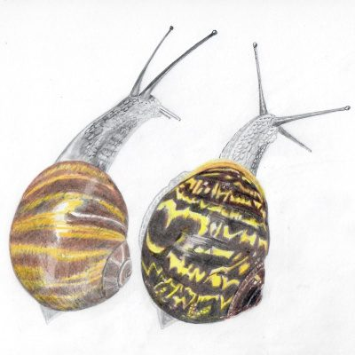 Rowena's drawing of two snails