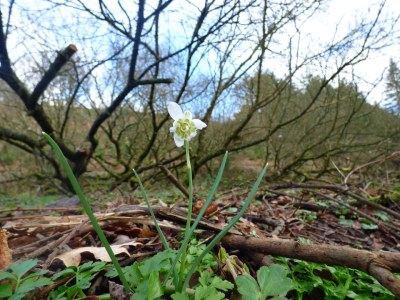 A quirky snowdrop