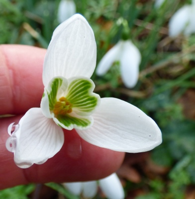 A very large snowdrop