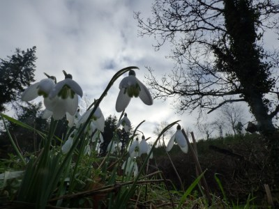 Snowdrops seen from below