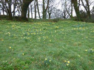 A host of churchyard daffodils