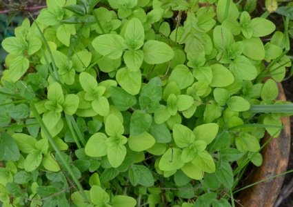 Marjoram and oregano grown in a pot