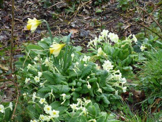 Primroses and daffodils by the church