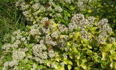 A small copper (centre) and gatekeeper butterflies on marjoram flowers
