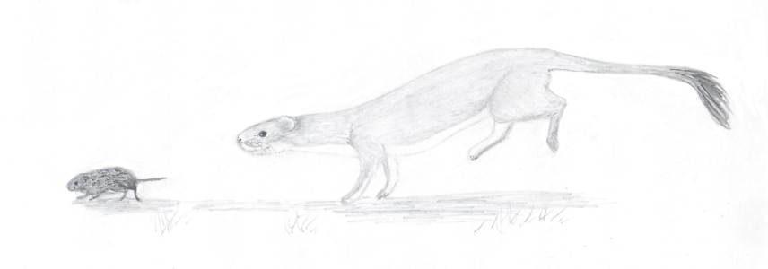 Stoat chasing vole