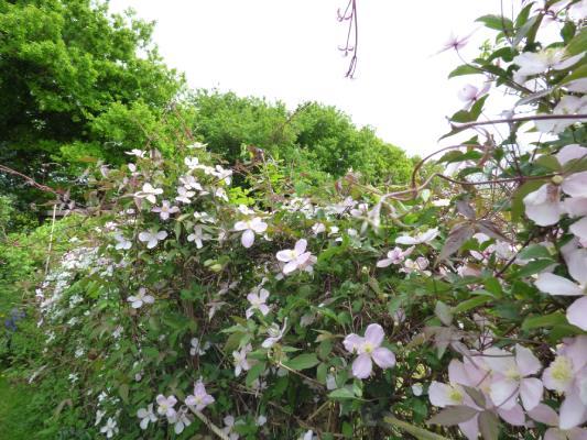Clematis on garden border