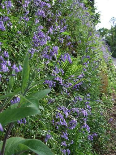 Bluebells in roadside Cornish hedge