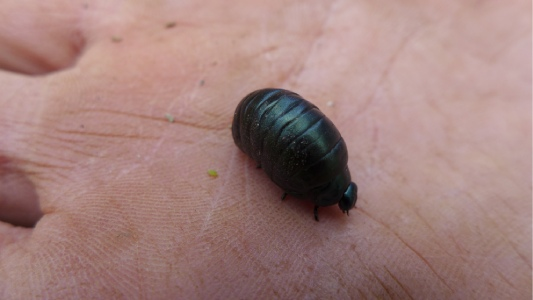 Bloody-nosed beetle larva on hand