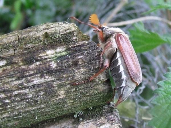Cockchafer on log